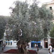 The oldest olive tree on the island- thought to be over 1000 years old..jpg