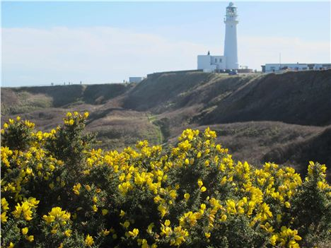 Gorse And Lighthouse, Flamborough Head