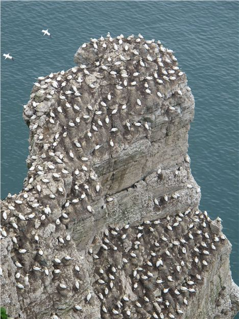 High Rise Gannets At Flamborough Head
