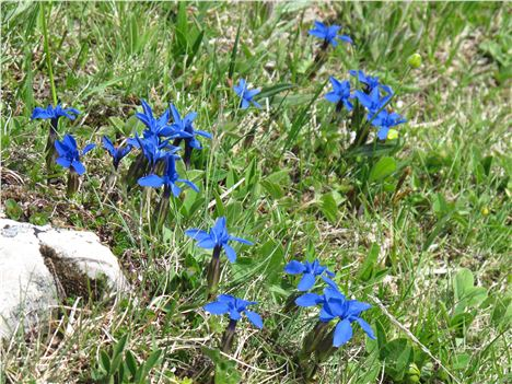 Thrilling Bue Of Mountain Gentians