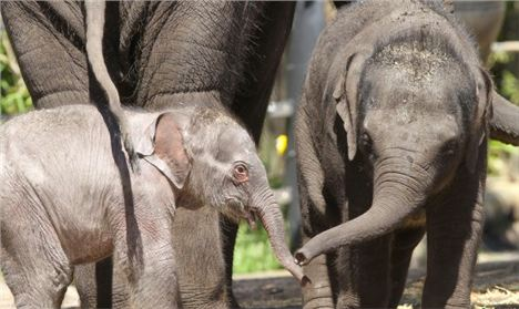 A New Female Elephant Calf At Taronga Zoo. Picture- Rick Stevens