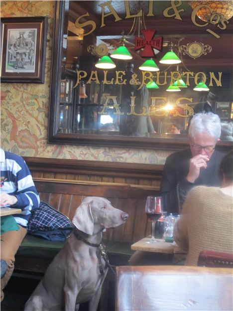 Weimaraner Stays Cool In The Anglesea Arms