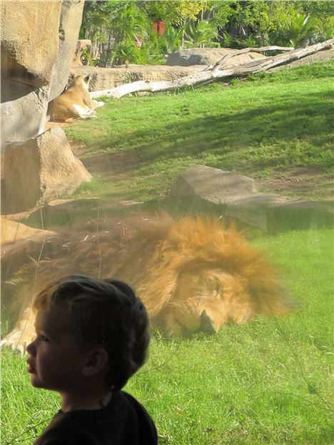 Bioparc %26#8211%3B Child With Slumbering Lion