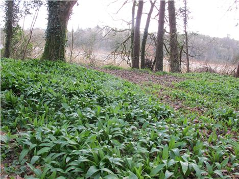 The Wild Garlic Is Out Early