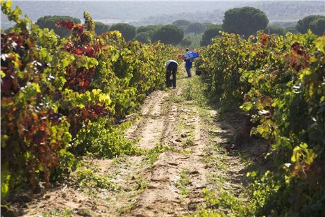 Harvesting At Abadia Retuerta