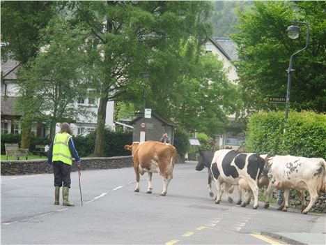 Cow Rush Hour, Grasmere