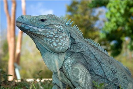 Iguana Shows A Smart Profile