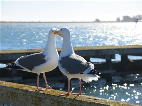 Birds Team Up In Bodega Bay