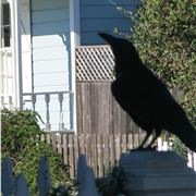 Rook On A Porch