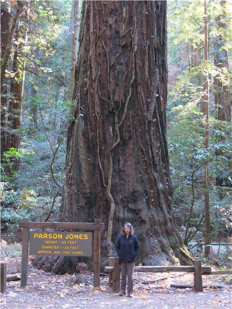 Big, Old Tree In The Armstrong Woods