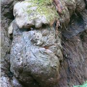Gnarled Face In A Sequoia
