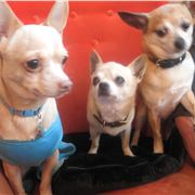 Trio Of Chihuahuas At Society Cafe, Soho