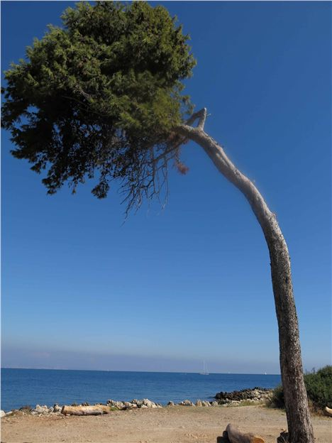 Tree, Cap D'antibes