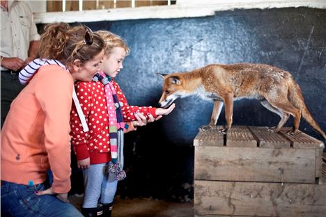 Feadon Farm - Feeding The Fox