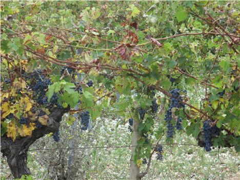 Many Of Les Baux's Vineyards Are Organic