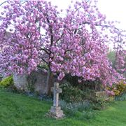 Cherry Tree In The Graveyard