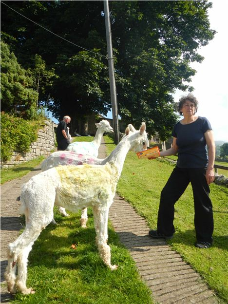In Costume . . . Cath With Her 'Tour' Alpacas