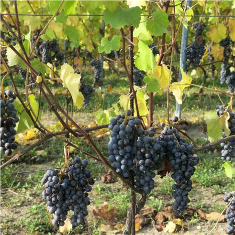 Nebbiolo Grapes Awaiting Picking